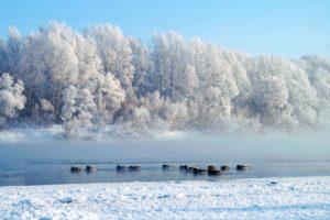 Кряквы на реке Уфа