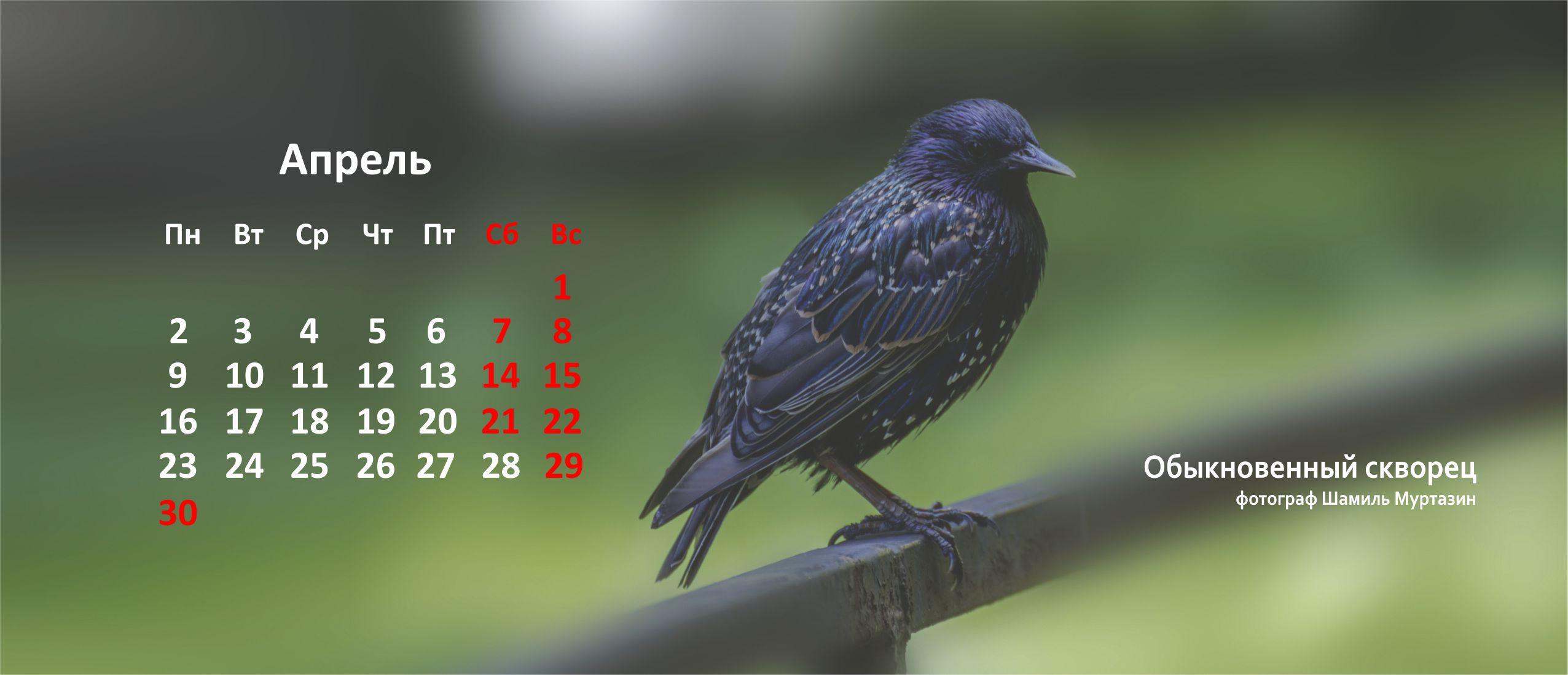 Скворец Птицы Уфы 2018