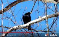 Голоса перелётных птиц. Открытые ландшафты. Часть 1