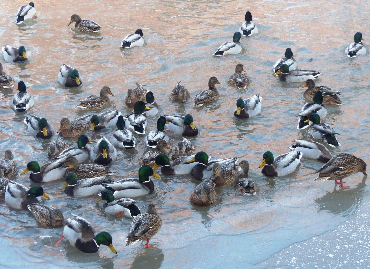 пруд на Кольской, 20.01.18 (фото Гайсиной Г.А.)