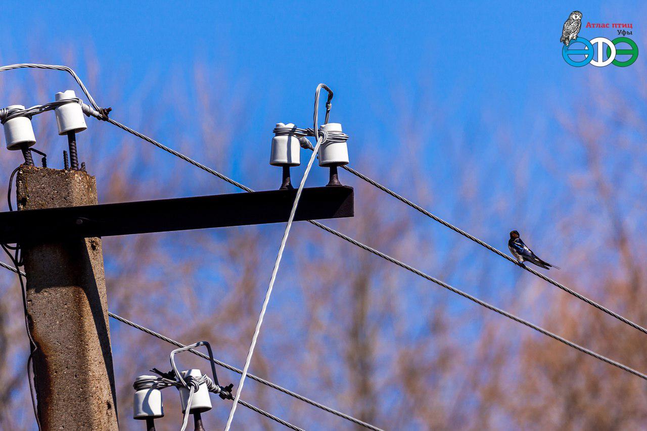 Деревенская ласточка (фото Губиной Т.), Иглинский район, 18.04.2018 г.