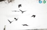 «Весенняя перекличка-2018» – Серая цапля