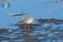 «Весенняя перекличка-2018» – обыкновенная горихвостка