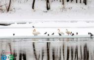 «Весенняя перекличка-2018» – лебедь-шипун