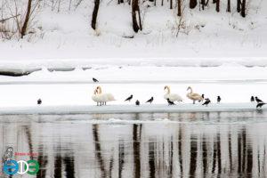 Лебеди-шипуны в Уфе