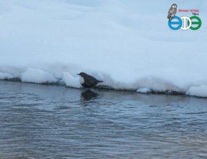 Оляпка в квадрате Л10 Атласа птиц г.Уфы (фото Фролова И.В.)