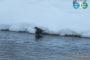 Турпан - новый вид для Уфы