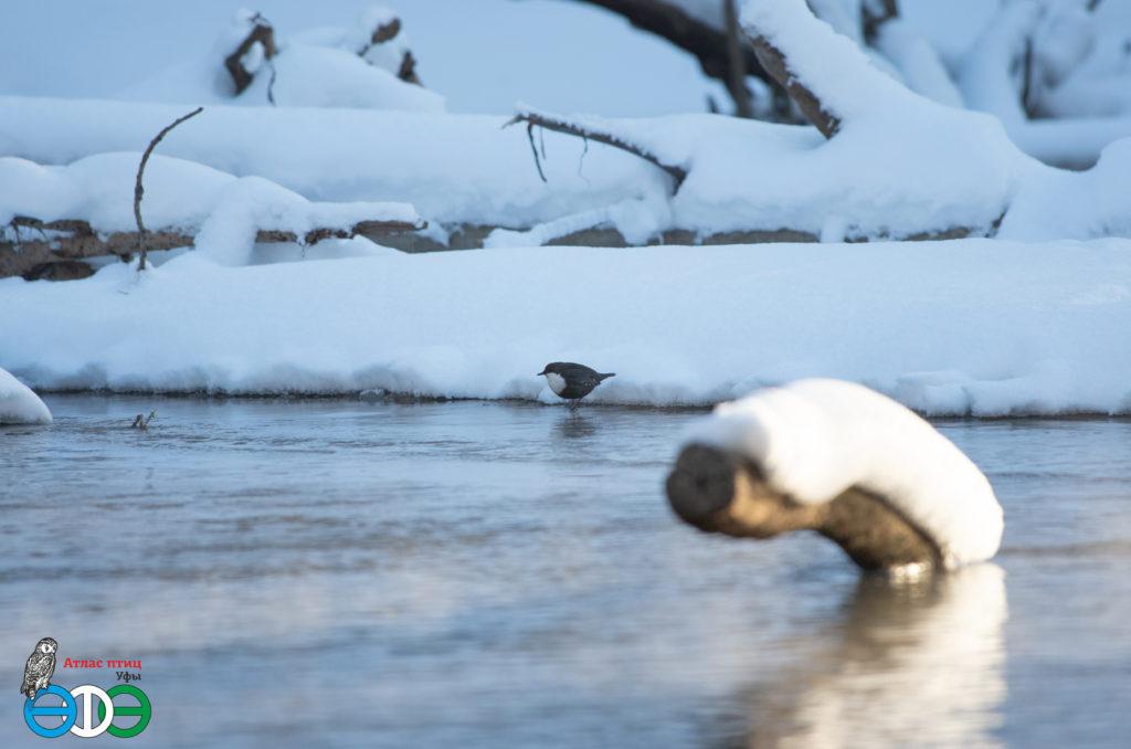 Оляпка в квадрате Л10 Атласа птиц г. Уфы, 2.12.2018 г. (фото Фролова И.В.)