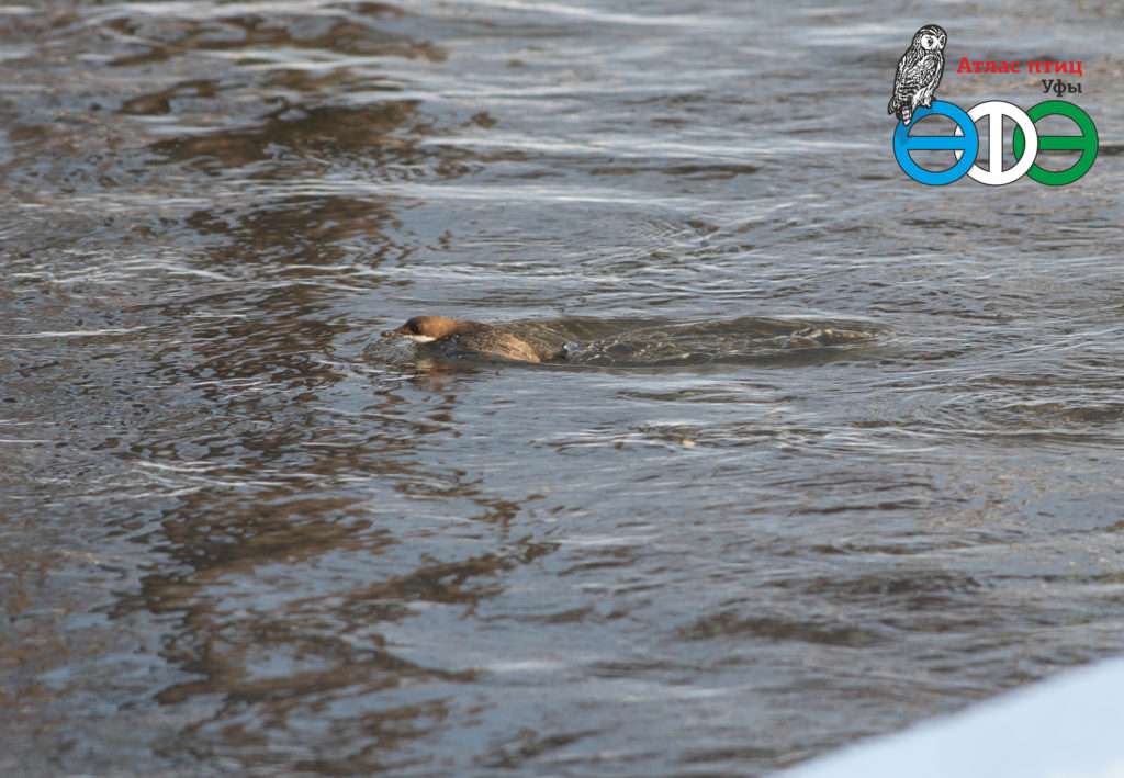 Оляпка в квадрате Л10 Атласа птиц г.Уфы, 2.12.2018 г. (фото Фролова И.В.)
