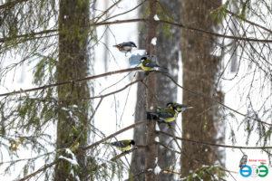Обыкновенный поползень и большин синицы (фото Губиной Т.В.)