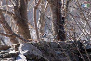 Белая трясогузка, 28.03.2019 г., Уфа (фото Гайсиной Г.)