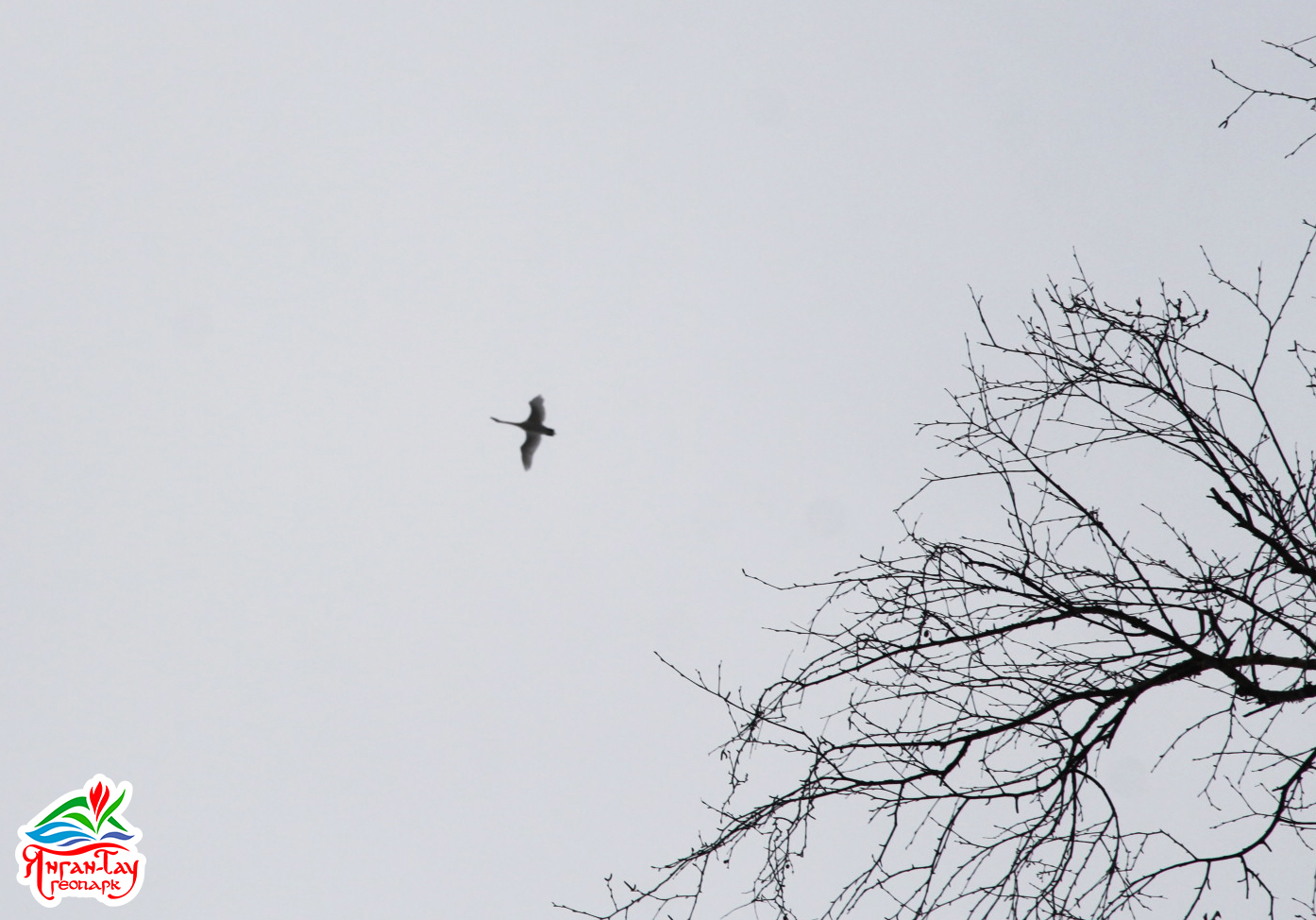 Лебедь-шипун, 29.03.2019 г., геопарк