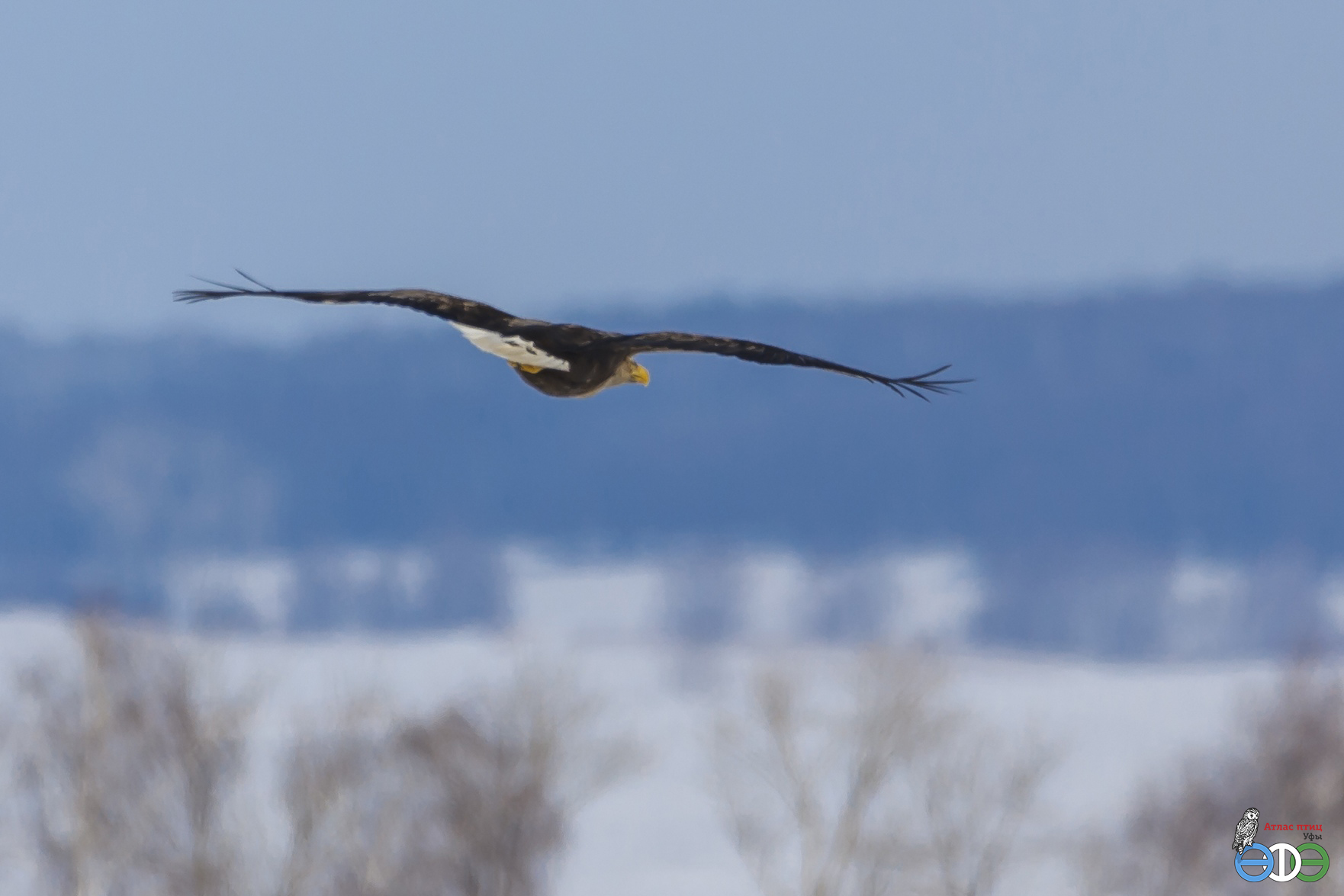 Орлан-белохвост, 16.03.2019 г. (фото Губиной Т.В.)