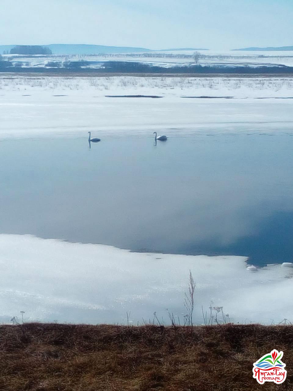 Лебеди-шипуны, 28.03.2019 г., геопарк