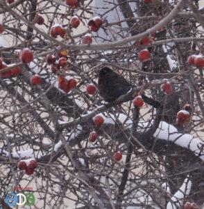 Чёрный дрозд (фото Фархутдиновой Гульшат), 3.03.2019 г., г.Уфа
