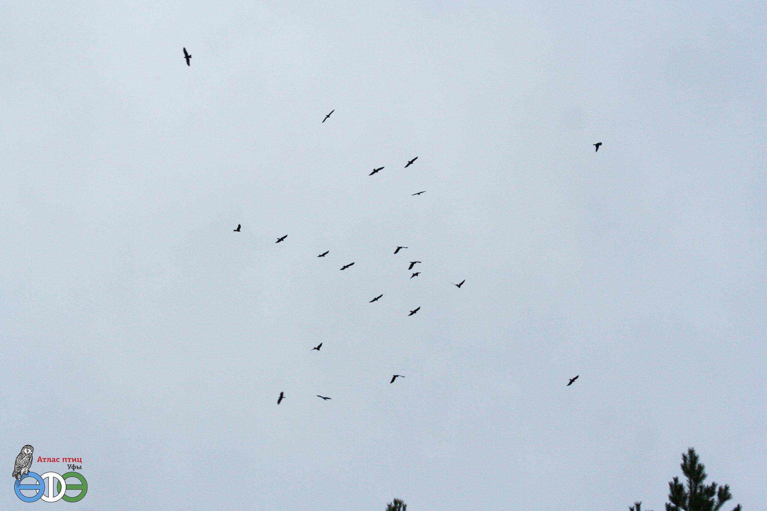 Чёрный коршун, 15.04.2019 г., Архангельский район (фото Хамитовой Г.)