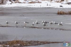 Барабинская чайка, 31.03.2019 г. (фото Муртазина Ш.)