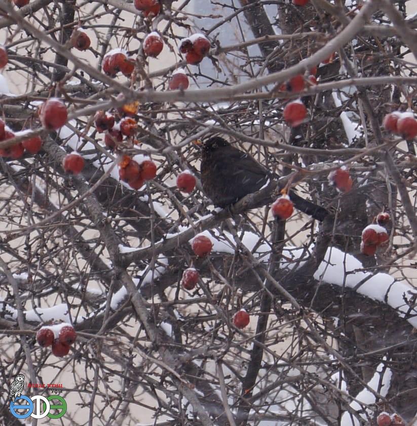 Чёрный дрозд 3.03.19 Уфа фото Фархутдиновой Г.