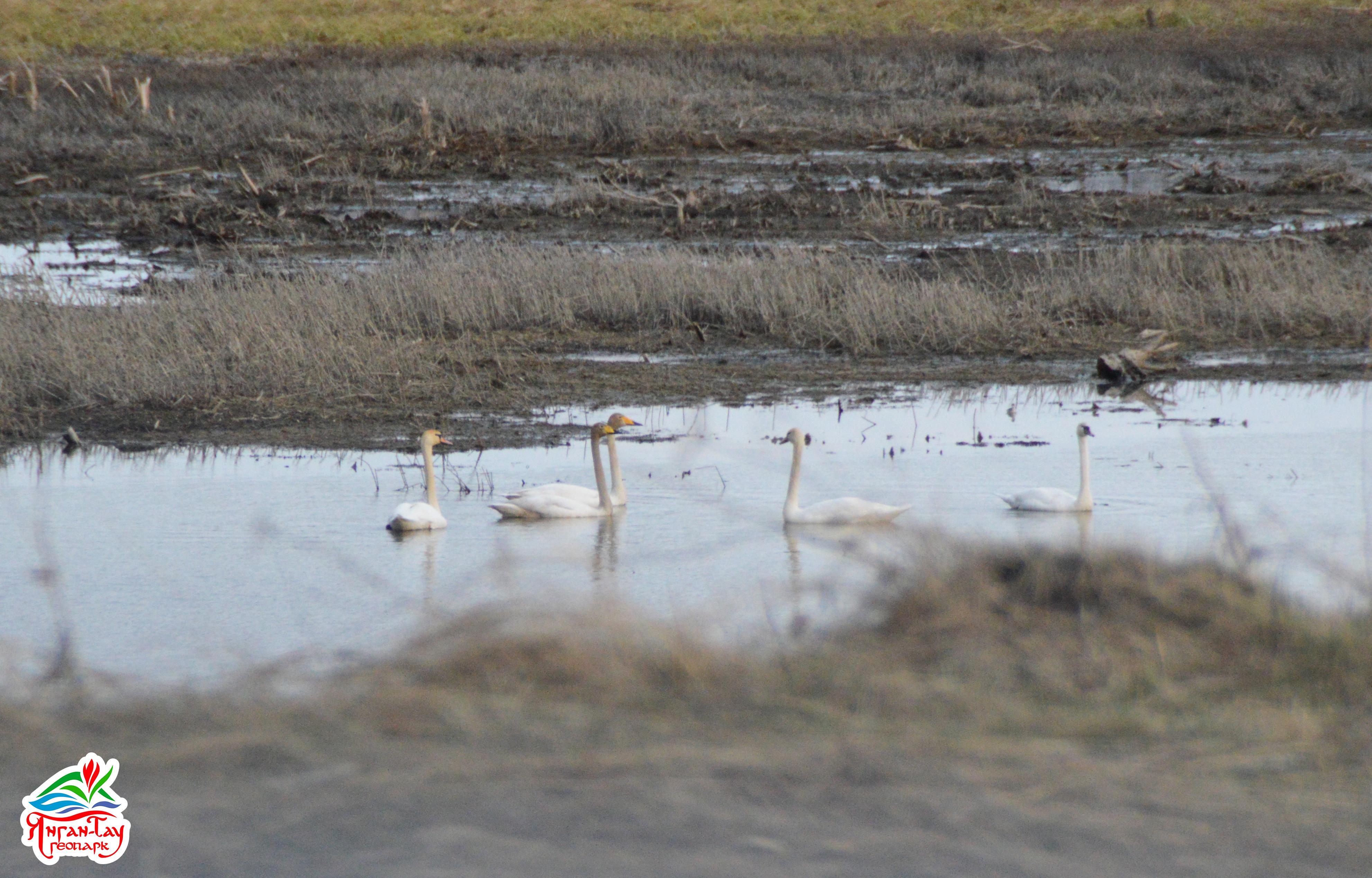 Лебеди шипуны и кликуны 5.05.19 Сал. р-н фото Мокеева Д.