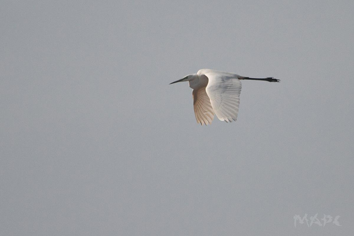 Большая белая цапля 14.04.19 Ауструм, Иглинский р-н фото Шангареева М.