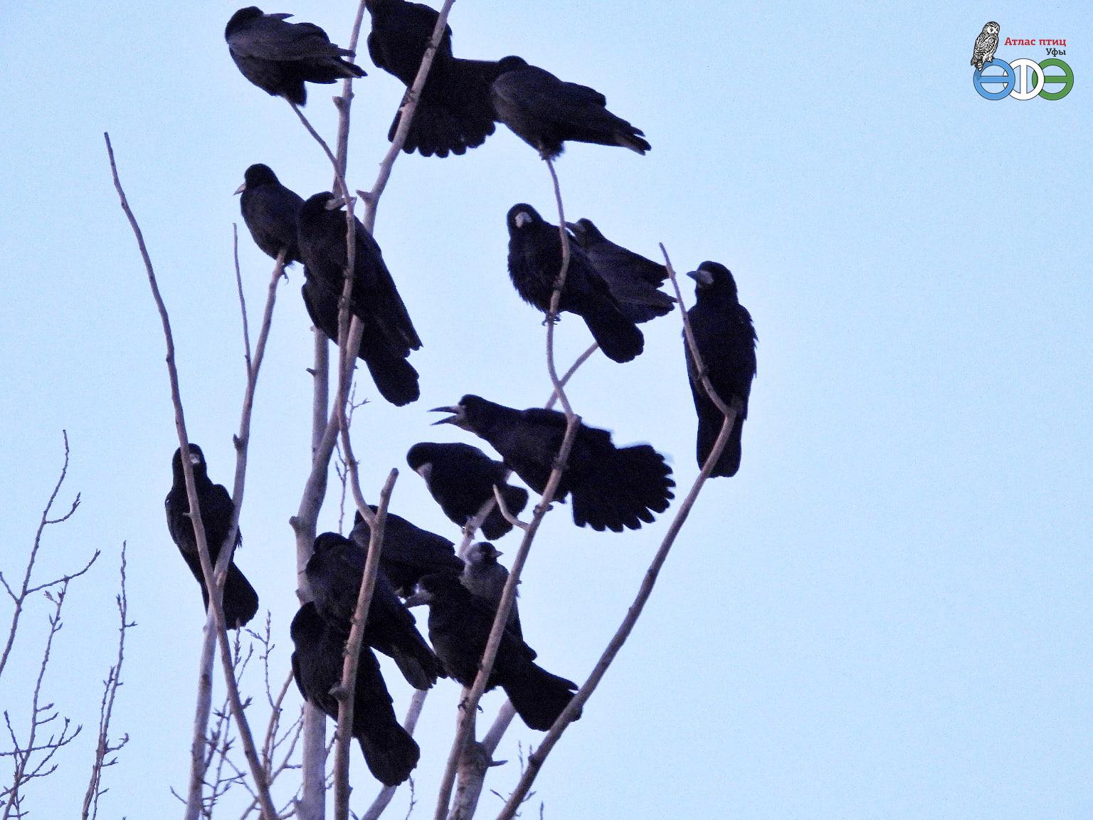 Грачи и галка, 1.03.2020 г., Уфа (фото Губиной Т.В.)
