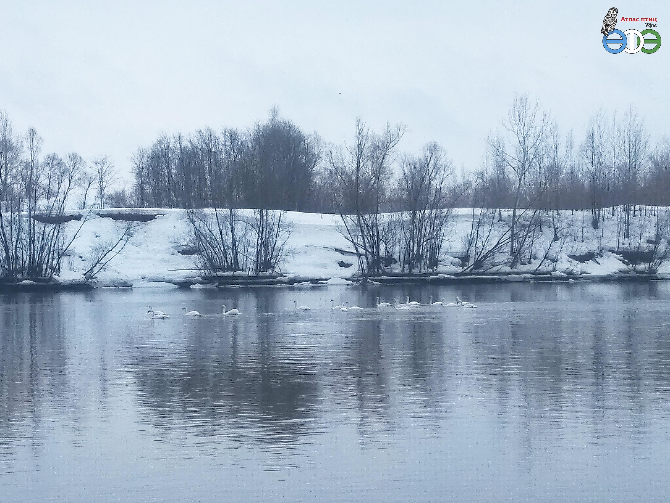 Лебеди-шипуны. 13.03.20 Уфа, Бикбая фото Руденко К.