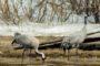 «Весенняя перекличка-2020» – горихвостка-чернушка