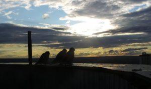 Сапсаны на закате