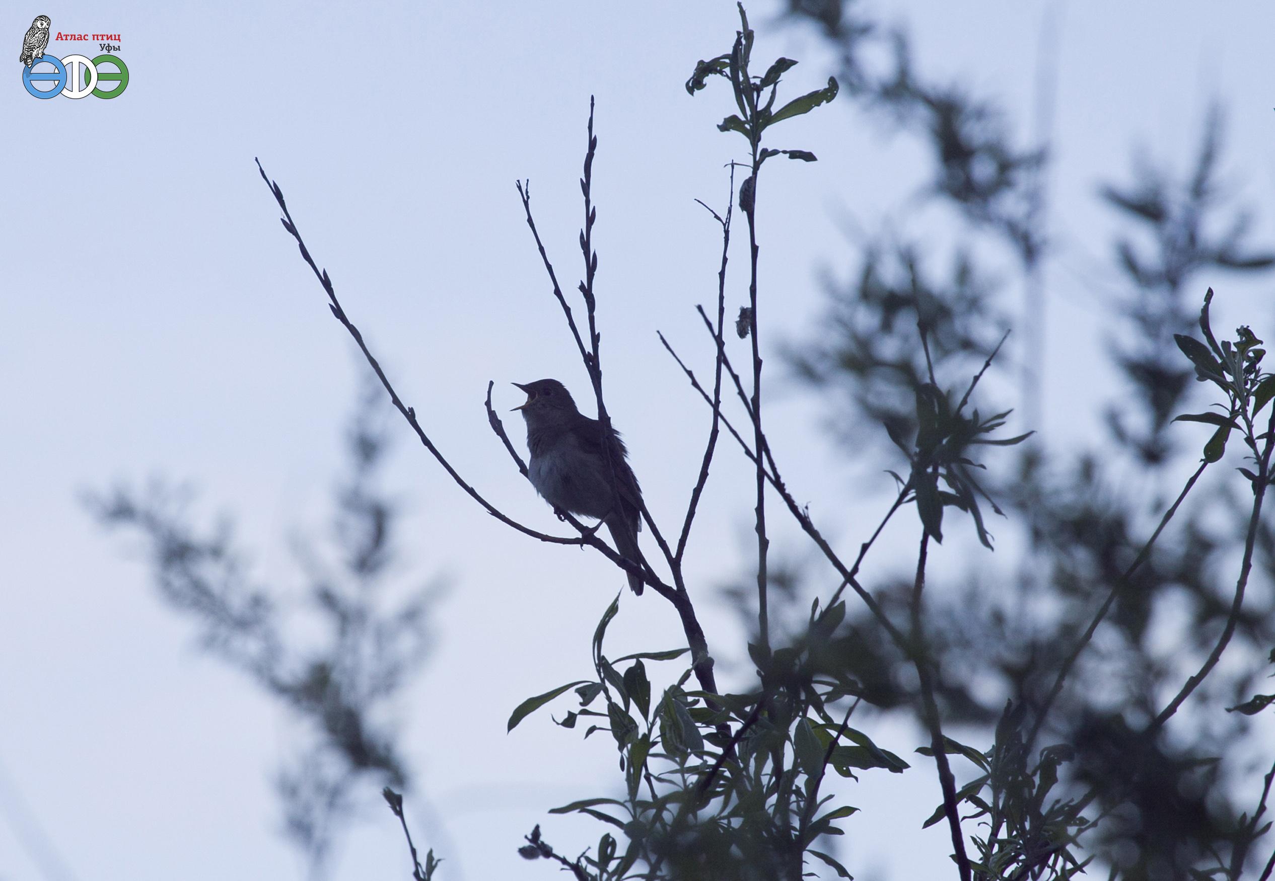 Обыкновенный соловей, 17.05.2020, квадрат Б4 Атласа птиц Уфы (фото Полежанкиной П.Г.)