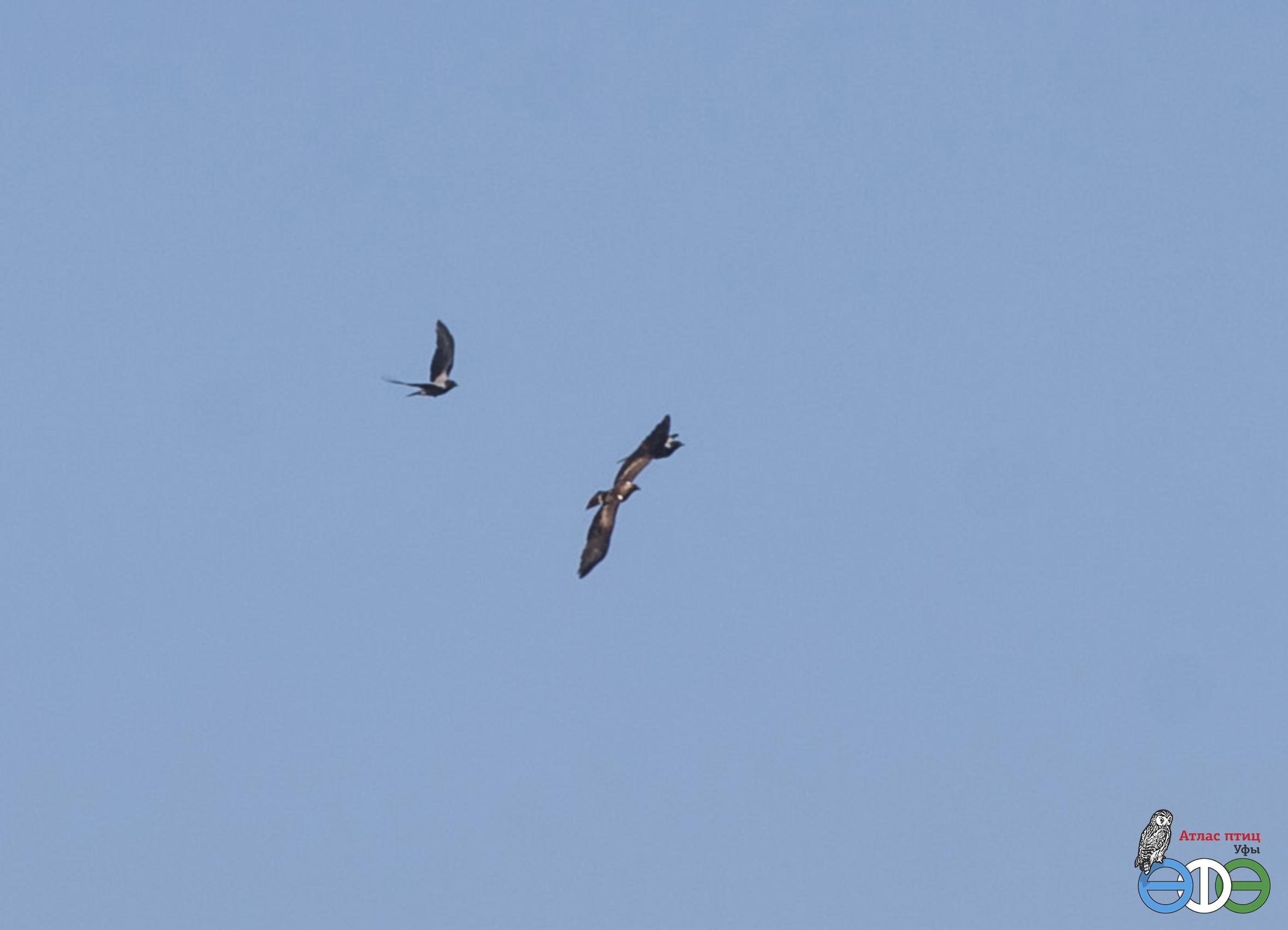 Орёл-карлик над Уфой