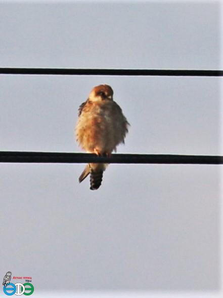 Птица 2021 года – кобчик – стал 205 видом в списке Атласа птиц г. Уфы